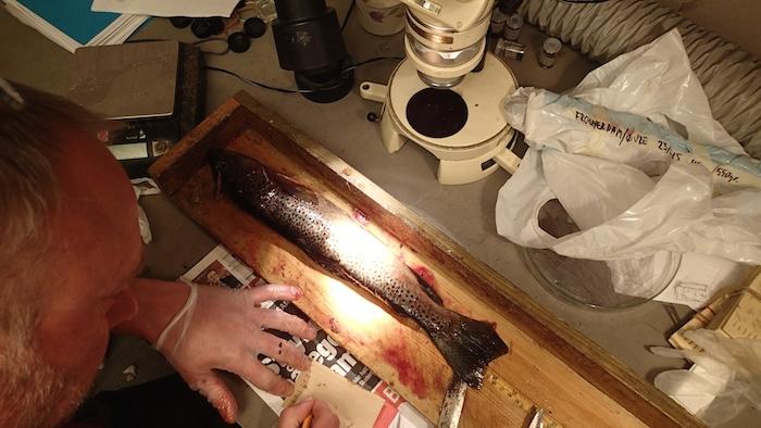 Henning Pavels med en av analysefiskene